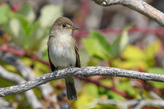Willow Flycatcher (Becky Matsubara) Tags: avian bird birds california ebrpd eastbayregionalparks empidonaxtraillii flycatcher moucherolledessaules nature outdoors pointpinole pointpinoleregionalshoreline ptpinole tyrannidae tyrantflycatcher wifl wildlife willowflycatcher ebparksok