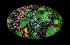 Nature's natural jewels (peggyhr) Tags: peggyhr droplets leaves bush cobweb kamloops bc canada dsc0297b