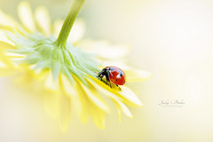 Lady in Yellow (Jacky Parker Photography) Tags: ladybird ladybug flower yellow florafauna wildlife garden closeup macro landscapeorientation nopeople freshness fragility beautyinnature beetle bug naturephotography nikon