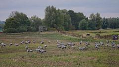 Kraniche fressen auf einem Acker (Oerliuschi) Tags: stoppelfeld acker natur tiere vögel kraniche fischlanddarszingst