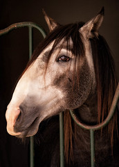 """""""Is this my good side?"""" (Canadapt) Tags: horse profile lusitano golgã portugal canadapt"""