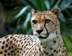 P1160992 (Guesscl) Tags: guépard fauve couleurs verdure vert végétations tâches yeux