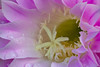 Easter Lily Cactus (Echinopsis eyriesii) (Tyson Poeckh) Tags: easter lily cactus bloom flower water droplets pink pistil stamen pollen echinopsis eyriesii