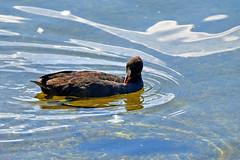 Poule d'eau (Diegojack) Tags: lausanne vaud suisse ouchy d500 nikon nikonpassion reflets oiseau pouledeau