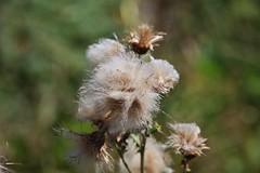 seeds (Hugo von Schreck) Tags: hugovonschreck macro makro tamron28300mmf3563divcpzda010