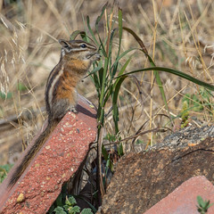 Least Chipmunks of Colorado (Pejasar) Tags: leastchipmunk chipmunk estespark colorado rodent stopped cute mammal animal wild least