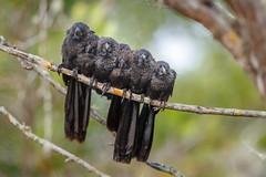 Six Smooth-billed Anis (wn_j) Tags: birds birding wildlife wildanimals wildlifephotography canon canon1dxii canon400mm nature naturephotography ani smoothbilledani galapagos