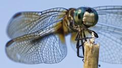 DragonFly_SAF4082_DxO (sara97) Tags: odonata copyright©2018saraannefinke dragonfly insect missouri mosquitohawk nature photobysaraannefinke predator saintlouis towergrovepark