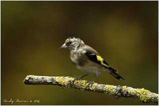 Juvenile European Goldfinch (Carduelis carduelis)