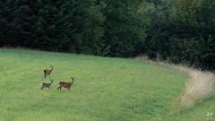 Faon et chêvrettes (Vosges, France)
