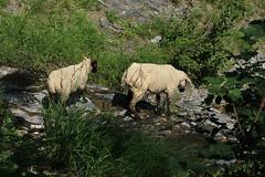 moutons dans la forêt (bulbocode909) Tags: valais suisse mex moutons forêts nature montagnes vert feuillages