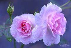Roses (Lindaw9) Tags: hardy roses pink september macro raindrops