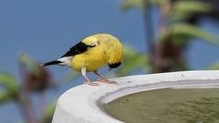"""Uhhh, yeah . . . those are my feet (Oliver Leveritt) Tags: nikond610 sigma150600mmf563dgoshsm|s oliverleverittphotography sigma150600 bird finch goldfinch iowastatebird"