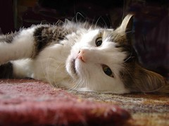 Goodby Wild Willy. (skipscales) Tags: rip tabby tabbywhite cat wildwilly willy adopted stray