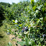 Blueberries thumbnail