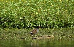 Gallinule poule d'eau (chriscrst photo66) Tags: bird animal oiseau lac verdure gallinule poule deau jeune nikoncoolpixp900