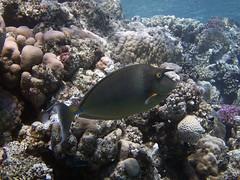 P1-008864 (charlesvanlangeveld) Tags: shortnoseunicornfish nasounicornis bluespineunicornfish unicornfish redsea red sea marsaalam egypt indopacific scuba diving fish portraits underwater