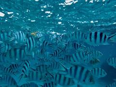 The School (Cagey898) Tags: fish water ocean sea blue bora french polynesia