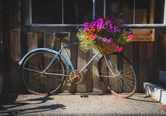 Reminisce (Katrina Wright) Tags: dsc0961 bike bicycle veto rust flowers basket basketofflowers gallery blue summer