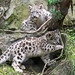 Snow Leopard Kittens Posed by a Tree