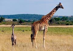 P1050464 (bvohra) Tags: maasaimara kenya maasai mara marariver hotairballoonsafari ashnilmara bigfivegame africa
