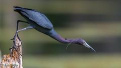 Little Blue Heron (bbatley) Tags: heron littleblue wildlife