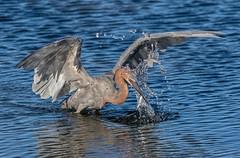402 (gabigruia96) Tags: 7dii sigma california reddish eagret fish