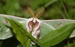 Luna Moth (nevinshrom) Tags: luna moth nikon d5200 outdoors nature macro wildlife tokina 100mm f28 entomology pennsylvania tioga