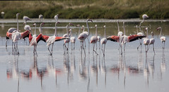 (nadiaorioliphoto) Tags: flamingos aves birds uccelli fenicotteri salina valle wetland lagoon animals