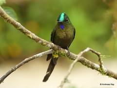 Hummingbird, Violet-tailed Sylph, Aglaiocercus coelestis (Ecuador Megadiverso) Tags: aglaiocercuscoelestis andreaskay bird birdwatcherslodge colibri ecuador hummingbird mindo trochilidae violettailedsylph