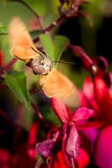 Hummingbird Hawk-moth In Flight (RGaenssler) Tags: sechsfüser macroglossinae neuflügler insekten sigmamakro180mmf28exdgoshsm macroglossum schmetterlinge taubenschwänzchen tiere schwarzwaldschmetterling tracheentiere fluginsekten gliederfüser floraundfauna arthropoda hexapoda insecta karpfenschwanz kolibrischwärmer lepidoptera macroglossumstellatarum morosphinx neoptera pterygota schwärmer sphingidae sphinxcolibr sphinxducaillelait taubenschwanz tracheata hummingbirdhawkmoth