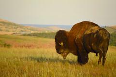 Home on the range (radargeek) Tags: wichitamountains wildliferefuge oklahoma 2018 august buffalo bison prairie