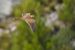 faucon crecerelle (frederic.laroche6) Tags: faucon oiseau bird animalier ornitho mouries provence nikon