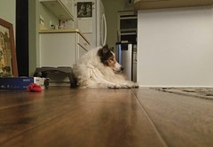 Having his soul stolen makes Ben nervous. (~ Liberty Images) Tags: ben collie dog pet canine sable silly