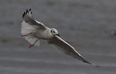 Bonaparte's Gull (kearneyjoe) Tags: bonapartesgull