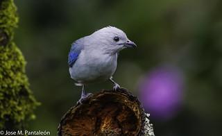 2 -Azulejo común, azulejo de jardín o tángara azulada