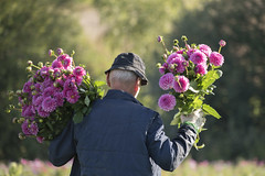 Les dahlias roses ***--+° (Titole) Tags: dahlia pink harvest flowers man back titole nicolefaton storybookwinner thechallengefactory 15challengeswinner