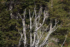 Cooper's Hawks (hike734) Tags: