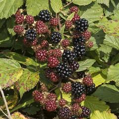 Summer is ending! (prajpix) Tags: food tasty ripe hedgerow hedge photogenic fruit bramble blackberries nature macro closeup highlands scotland summer dof