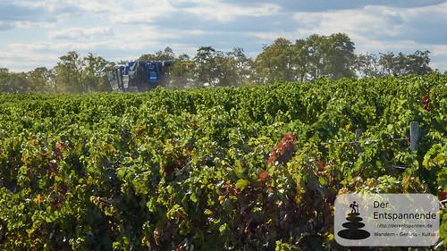 Vollernter zur Weinlese in den Weinbergen