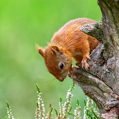 Red Squirrel (Margaret S.S) Tags: red squirrel rodent