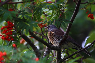 With berries and fieldfares, autumn is here