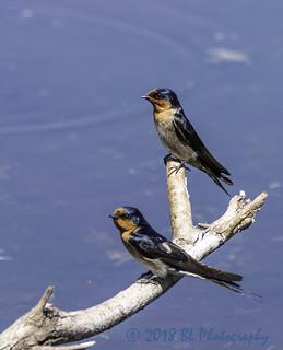Welcome Swallow breeding pair portrait