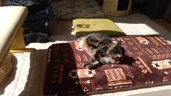 Sun is Out, So is Tigger (sjrankin) Tags: 18september2018 edited animal cat tigger floor livingroom sun sunlight sunbeam mat cushion bench kitahiroshima hokkaido japan norio