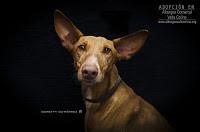 Perros grandes en adopción - PANDORA (Albergue Valle Colino) Tags: adopta adoptar adoptanocompres adopción sebusca extraviado perdido perro gatos lealesorg tenerife