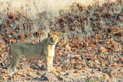 Lioness in Palwag (xenonmac) Tags: namibia africa south animal etosha palmwag sesfontain zebra elephant lion lioness nikon d200 d600 nikkor 80400 af desert solitaire soussuvleiu 4x4 toyota rhino twelfontain dune sand spritzkoppe damaraland skeleton coast trail purros walvis bay flamingo national park opuwo epupa falls angola border baobab eliphantus rust puppy giraffa cheeta cubs rocks waterfall gnu kudu antilope moon landscape otarie cape cross namib