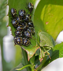 Southern Green Shield Bug with lots of hatchings (paulafrenchp) Tags: physostegia plant green southerngreenshieldbug nymph insects instar third beetle spotted stickbug nezaraviridula pentatomidae amazing life newlife phase shell cluster group hatchlings babies adult beautyinnature outdoor garden