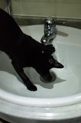 Tap water please (teylorbruno) Tags: blackcat cats cat camila water black drink sink white nikon photography pet lowlight 50mm yongnuo d7000 nikond7000
