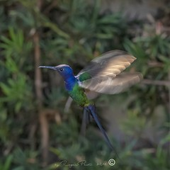 _DSC0391 (Roger Hummingbirds) Tags: animal nature bird birds colibri wildlife hummingbird wings flight feeder flower nectar south america rain forest color colorful colour fly flying spread blue green delicate flora floral beauty inflight ornithology wild brazil beijaflor tesourinha kolibrie feathers outdoor verde azul natureza do sul vôo voando delicado flores