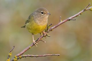 MacGillivray's warbler, female